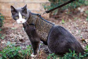 Преимущества использования шлейки и поводка при прогулке с кошкой