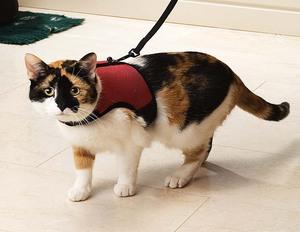 Описание применения поводка и шлейки для кошек