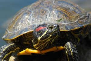 Уход за черепахой дома
