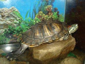 Как содержать черепаху дома