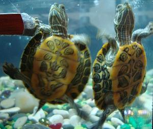 Какие могут быть проблемы с черепахами