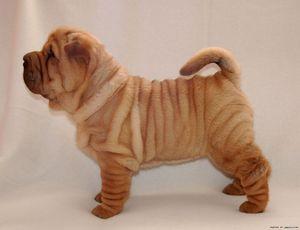 Порода собак со складчатой кожей