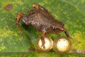 Оплодотворение лягушек