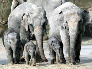 Беременность у слонов длится