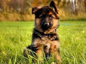 Немецкая овчарка: купить щенка немецкой овчарки, продажа.