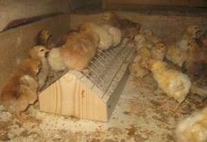 Выращивание цыплят кучинских в домашних условиях 67