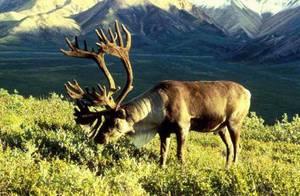 Северный олень как домашнее животное