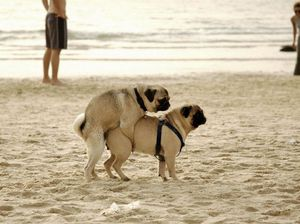 Схема спаривания собак