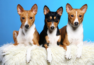 Басенджи - собака, которая не лает: описание породы конго-терьер, особенности поведения и дрессировки
