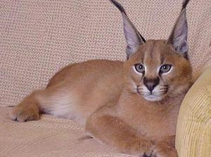 Кот с кисточками на ушах какая порода
