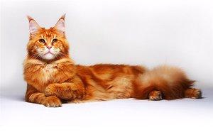 Порода кота с кисточками на ушах фото