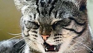 Почему чихают коты как лечить