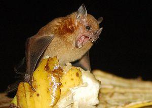 чем питаются летучие мыши