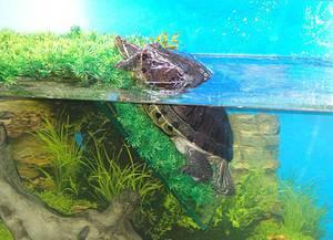 usloviya dlya cherepahi Красноухая черепаха – уход