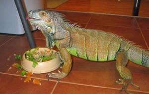 Как кормить ящерицу