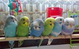 Что такое леток для попугаев