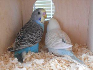 Птенцы волнистых попугаев в домике