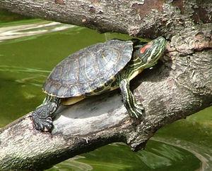 cherepaha krasnouhaya Красноухая черепаха – уход