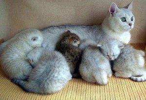 Беременность у кошки первая
