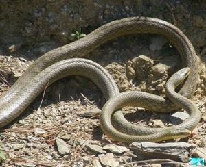 Какие ритуалы есть у змей