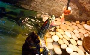 Что едят красноухие черепахи?