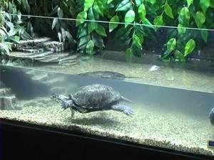 Уход за европейской болотной черепахой в домашних условиях