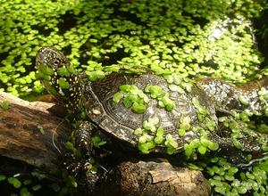 Как правильно ухаживать за европейской болотной черепахой в домашних условиях