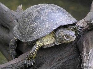 фото болотная черепаха