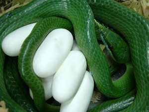 Размножаются змеи путем откладки яиц