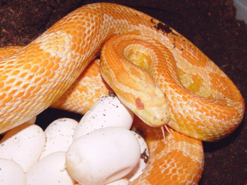 Репродуктивное поведение змей