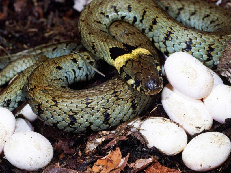 Откладывание яиц у змей