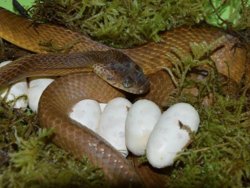 Процесс спаривания у змей