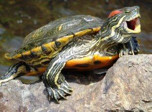 Среда обитания красноухих черепах