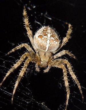 крестоносец паук фото
