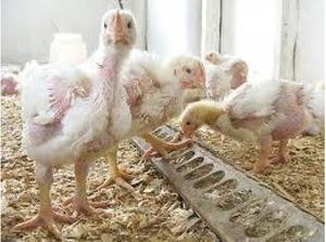 Чем заболевают цыплята