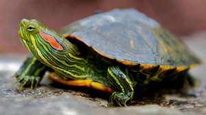 Сколько живут красноухие черепахи?