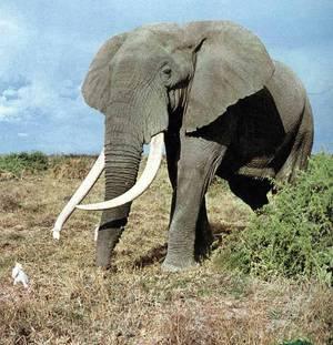 Срок беременности слонов